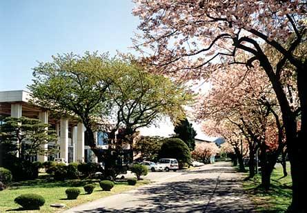 正門からの桜並木